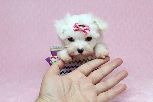 Sophia - Tiny Teacup Maltipoo Puppy has found a good loving home with Vicky from Las Vegas, NV 89145-25846