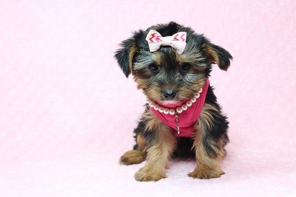 Taylor Swift - Teacup Yorkie Found her New Loving Home with John and David from Glendale CA 91202-26232