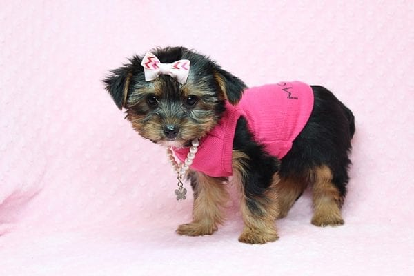 Taylor Swift - Teacup Yorkie Found her New Loving Home with John and David from Glendale CA 91202-26240