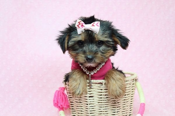 Taylor Swift - Teacup Yorkie Found her New Loving Home with John and David from Glendale CA 91202-26243