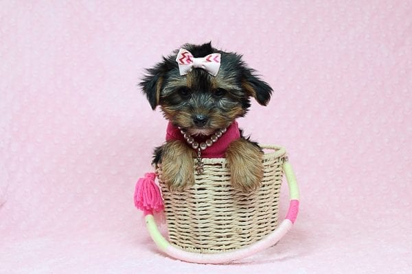 Taylor Swift - Teacup Yorkie Found her New Loving Home with John and David from Glendale CA 91202-26241