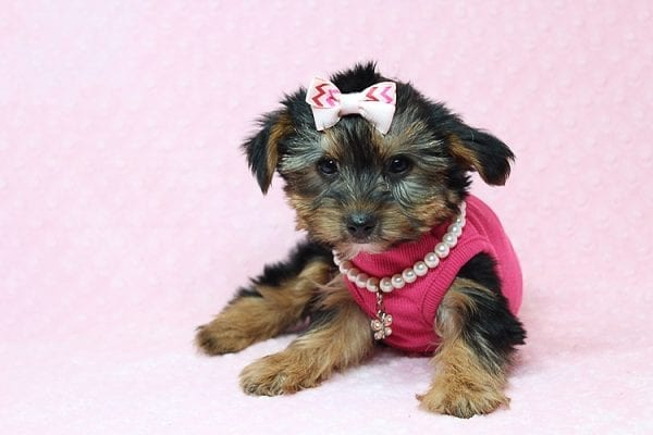 Taylor Swift - Teacup Yorkie Found her New Loving Home with John and David from Glendale CA 91202-26233
