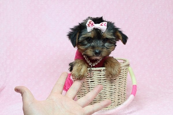 Taylor Swift - Teacup Yorkie Found her New Loving Home with John and David from Glendale CA 91202-0