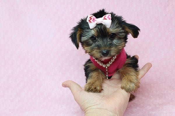 Taylor Swift - Teacup Yorkie Found her New Loving Home with John and David from Glendale CA 91202-26234