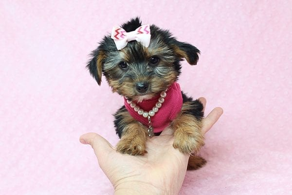 Taylor Swift - Teacup Yorkie Found her New Loving Home with John and David from Glendale CA 91202-26235
