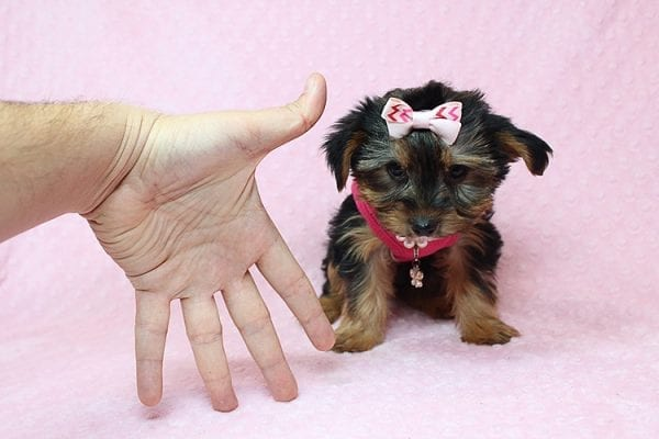 Taylor Swift - Teacup Yorkie Found her New Loving Home with John and David from Glendale CA 91202-26236
