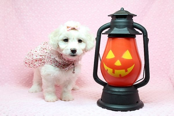 Taylor Swift - Toy Maltipoo Puppy has found a good loving home with Kimberly from Las Vegas, NV 89139.-25749