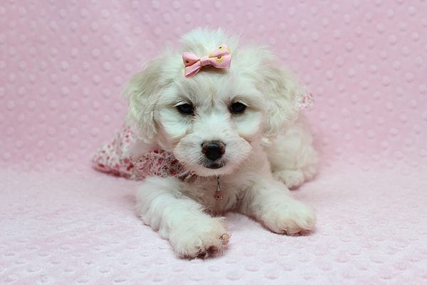 Taylor Swift - Toy Maltipoo Puppy has found a good loving home with Kimberly from Las Vegas, NV 89139.-25745