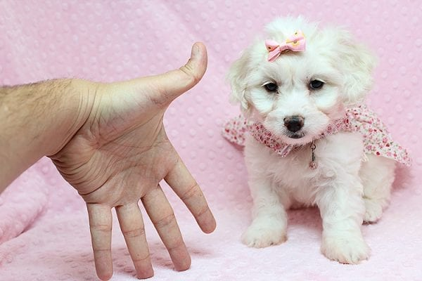 Taylor Swift - Toy Maltipoo Puppy has found a good loving home with Kimberly from Las Vegas, NV 89139.-0