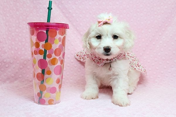 Taylor Swift - Toy Maltipoo Puppy has found a good loving home with Kimberly from Las Vegas, NV 89139.-25747