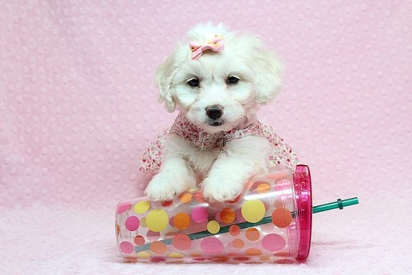Taylor Swift - Toy Maltipoo Puppy has found a good loving home with Kimberly from Las Vegas, NV 89139.-25748
