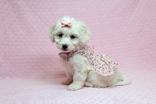 Taylor Swift - Toy Maltipoo Puppy has found a good loving home with Kimberly from Las Vegas, NV 89139.-25750