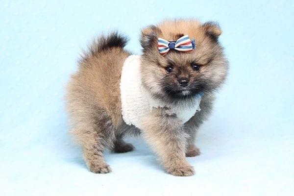 Tiger - Tiny Teacup Pomeranian Puppy Found a new home in Tijuana Mexico-25787