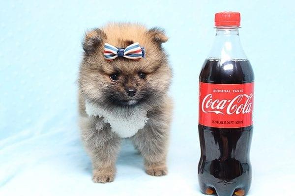 Tiger - Tiny Teacup Pomeranian Puppy Found a new home in Tijuana Mexico-25790