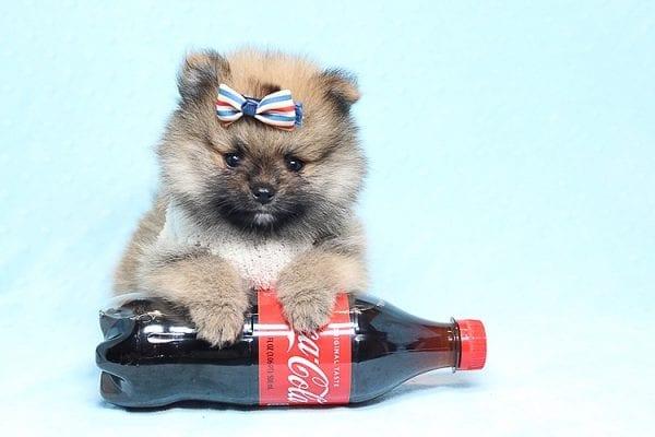 Tiger - Tiny Teacup Pomeranian Puppy Found a new home in Tijuana Mexico-25792