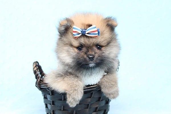 Tiger - Tiny Teacup Pomeranian Puppy Found a new home in Tijuana Mexico-25793