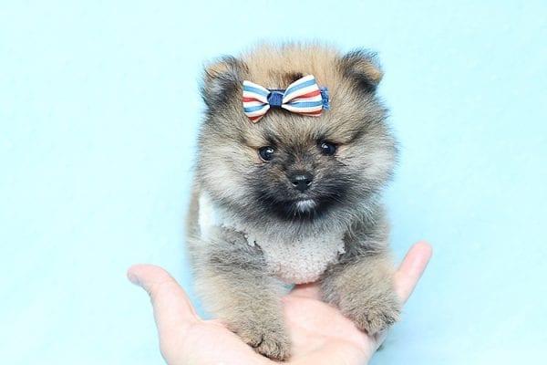 Tiger - Tiny Teacup Pomeranian Puppy Found a new home in Tijuana Mexico-25791