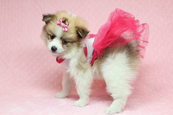 Tiger Lilly - Teacup Pomeranian Puppy Found Her Good Loving Home With Martha B. In Ventura CA, 93004-25697