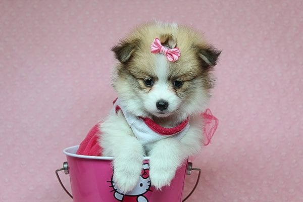 Tiger Lilly - Teacup Pomeranian Puppy Found Her Good Loving Home With Martha B. In Ventura CA, 93004-25698