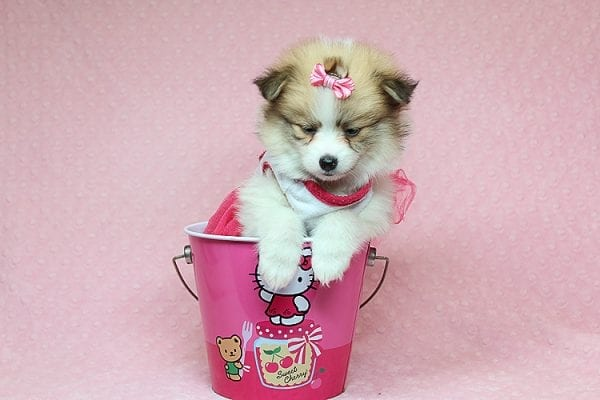 Tiger Lilly - Teacup Pomeranian Puppy Found Her Good Loving Home With Martha B. In Ventura CA, 93004-25700