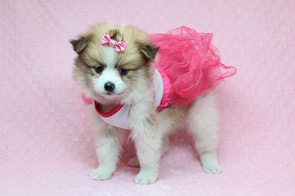Tiger Lilly - Teacup Pomeranian Puppy Found Her Good Loving Home With Martha B. In Ventura CA, 93004-0