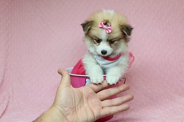 Tiger Lilly - Teacup Pomeranian Puppy Found Her Good Loving Home With Martha B. In Ventura CA, 93004-25701