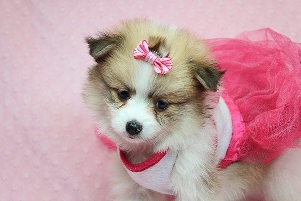 Tiger Lilly - Teacup Pomeranian Puppy Found Her Good Loving Home With Martha B. In Ventura CA, 93004-25699