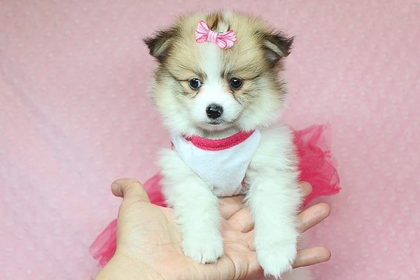 Tiger Lilly - Teacup Pomeranian Puppy Found Her Good Loving Home With Martha B. In Ventura CA, 93004-25695