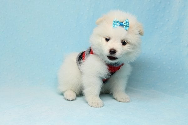 White Fang - Teacup Pomeranian Found His New Loving Home with Neydi from Camarillo CA 93010-25705