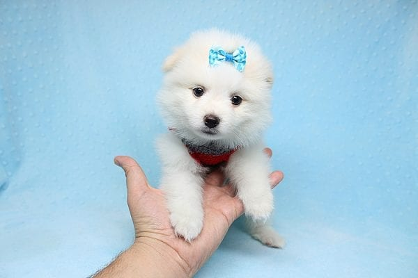 White Fang - Teacup Pomeranian Found His New Loving Home with Neydi from Camarillo CA 93010-25707
