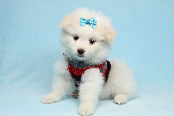 White Fang - Teacup Pomeranian Found His New Loving Home with Neydi from Camarillo CA 93010-25702