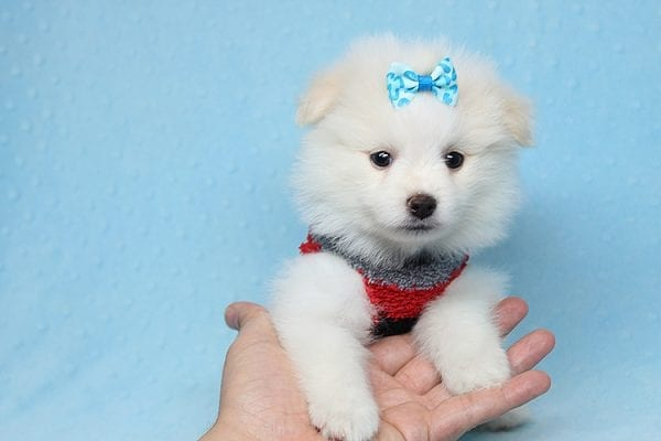 White Fang - Teacup Pomeranian Found His New Loving Home with Neydi from Camarillo CA 93010-25703