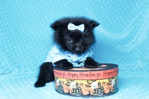 Zoro - Teacup Pomeranian Puppy has found a good loving home with Jade from Fort Collins, CO 80526-25904