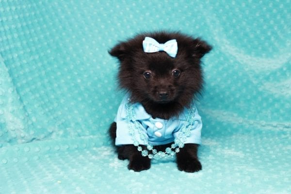 Zoro - Teacup Pomeranian Puppy has found a good loving home with Jade from Fort Collins, CO 80526-25905