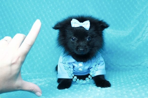 Zoro - Teacup Pomeranian Puppy has found a good loving home with Jade from Fort Collins, CO 80526-25906