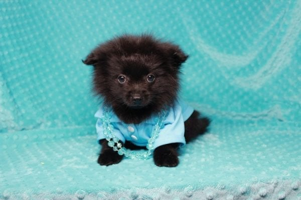 Zoro - Teacup Pomeranian Puppy has found a good loving home with Jade from Fort Collins, CO 80526-25908