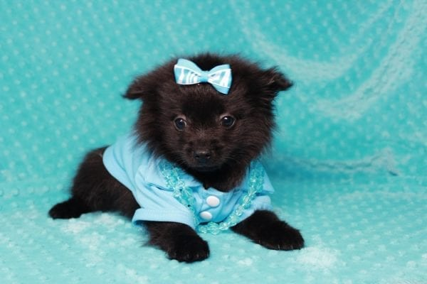 Zoro - Teacup Pomeranian Puppy has found a good loving home with Jade from Fort Collins, CO 80526-25901