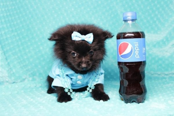 Zoro - Teacup Pomeranian Puppy has found a good loving home with Jade from Fort Collins, CO 80526-25903