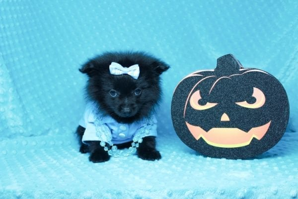Zoro - Teacup Pomeranian Puppy has found a good loving home with Jade from Fort Collins, CO 80526-25902