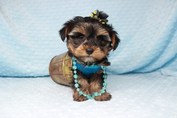 Backstreet Boy - Teacup Yorkie Puppy has found a good loving home with basker from henderson, nv 89044.-26104