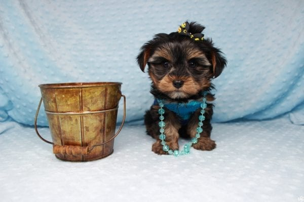 Backstreet Boy - Teacup Yorkie Puppy has found a good loving home with basker from henderson, nv 89044.-26105