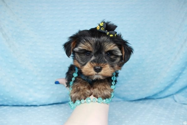 Backstreet Boy - Teacup Yorkie Puppy has found a good loving home with basker from henderson, nv 89044.-26106
