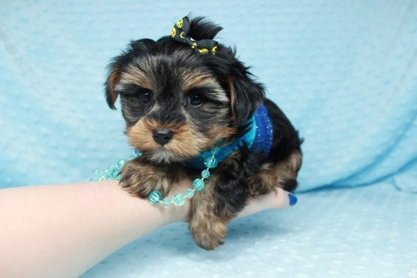 Backstreet Boy - Teacup Yorkie Puppy has found a good loving home with basker from henderson, nv 89044.-26107
