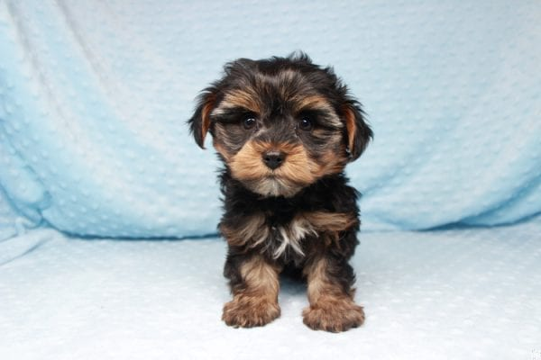 Backstreet Boy - Teacup Yorkie Puppy has found a good loving home with basker from henderson, nv 89044.-26108