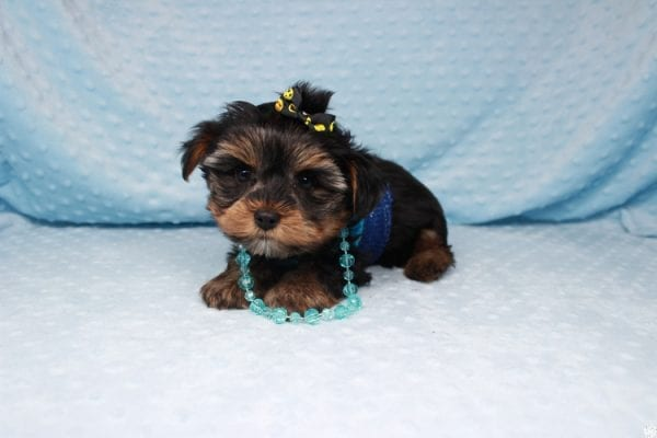 Backstreet Boy - Teacup Yorkie Puppy has found a good loving home with basker from henderson, nv 89044.-26099