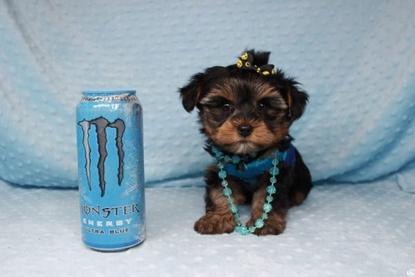 Backstreet Boy - Teacup Yorkie Puppy has found a good loving home with basker from henderson, nv 89044.-0