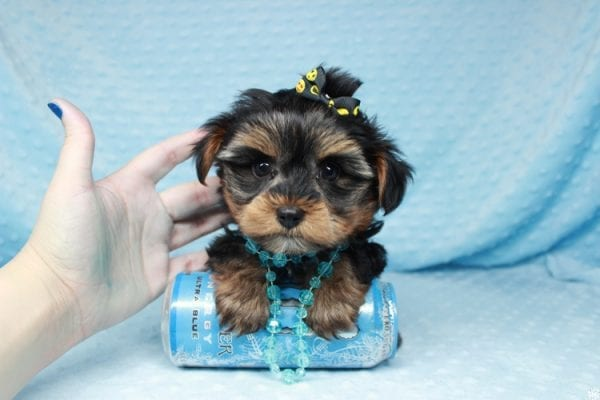 Backstreet Boy - Teacup Yorkie Puppy has found a good loving home with basker from henderson, nv 89044.-26100