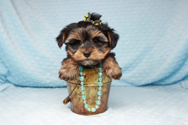 Backstreet Boy - Teacup Yorkie Puppy has found a good loving home with basker from henderson, nv 89044.-26102