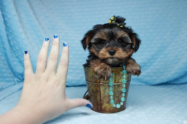 Backstreet Boy - Teacup Yorkie Puppy has found a good loving home with basker from henderson, nv 89044.-26103