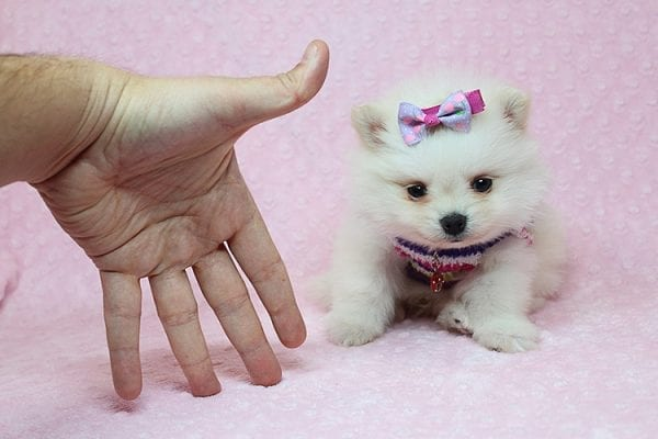 BFF - Tiny Teacup Pomeranian Found Her New Loving Home With Tessa From Beverly Hills CA 90210-0